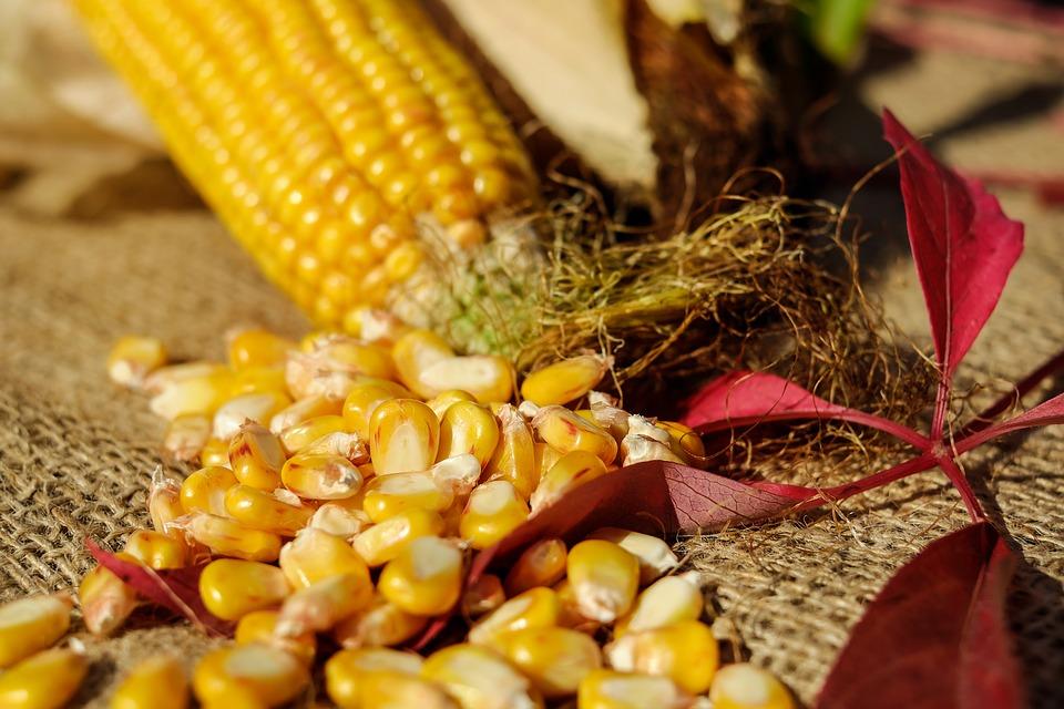 Imagen de la noticia Identificación y caracterización morfológica, fisiológica y molecular de diferentes variedades de Zea Mays (maíz) tolerantes al exceso de boro para la introducción de su cultivo en suelos con alto contenido en Boro